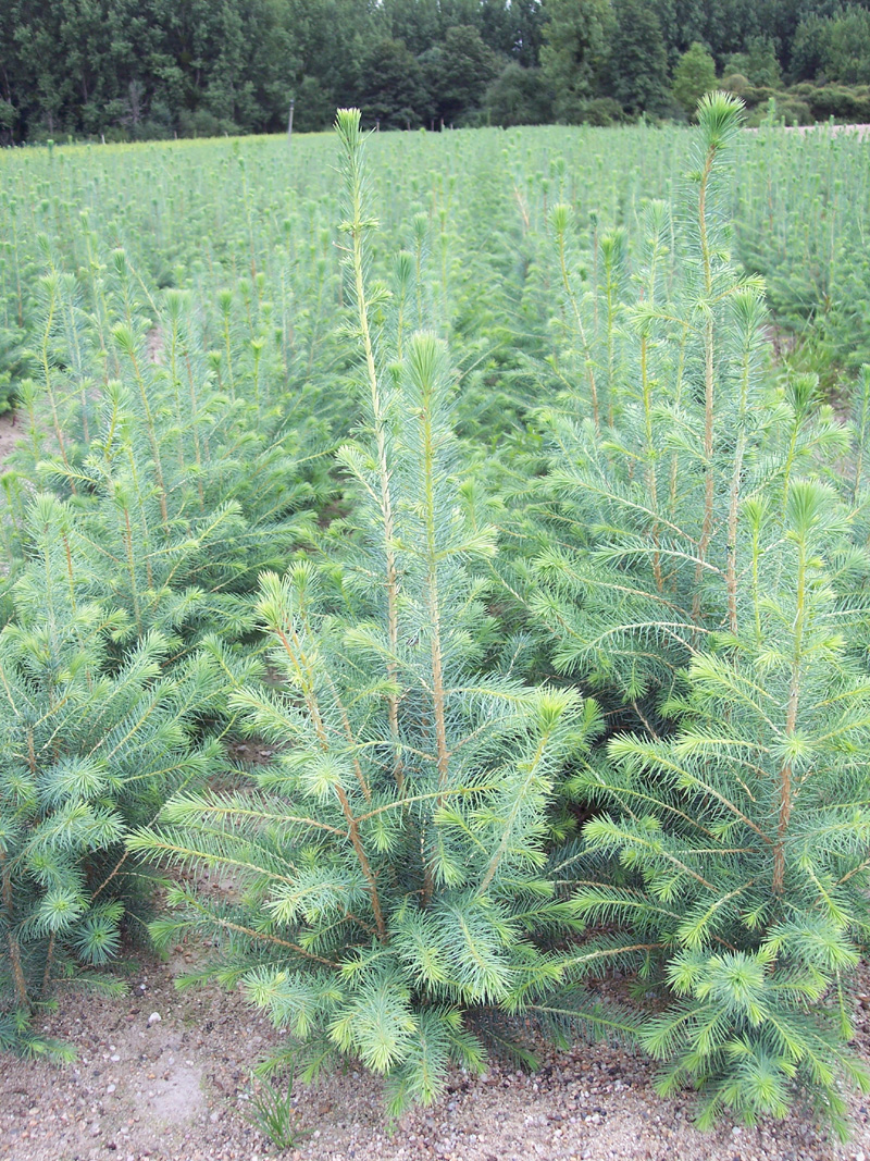 PICEA-sitchensis-5BF